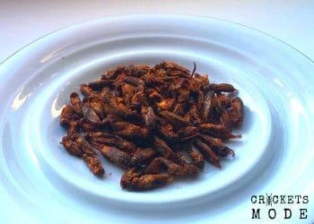 dried crickets with spices, flavored crickets, dry crickets snack